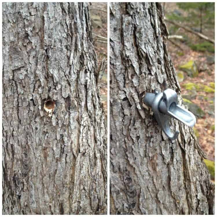 picture showing a whole drilled in a maple tree and a spout being placed in the whole to 'tap' the tree