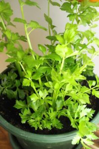 a re-grown celery plant about 12 inches high