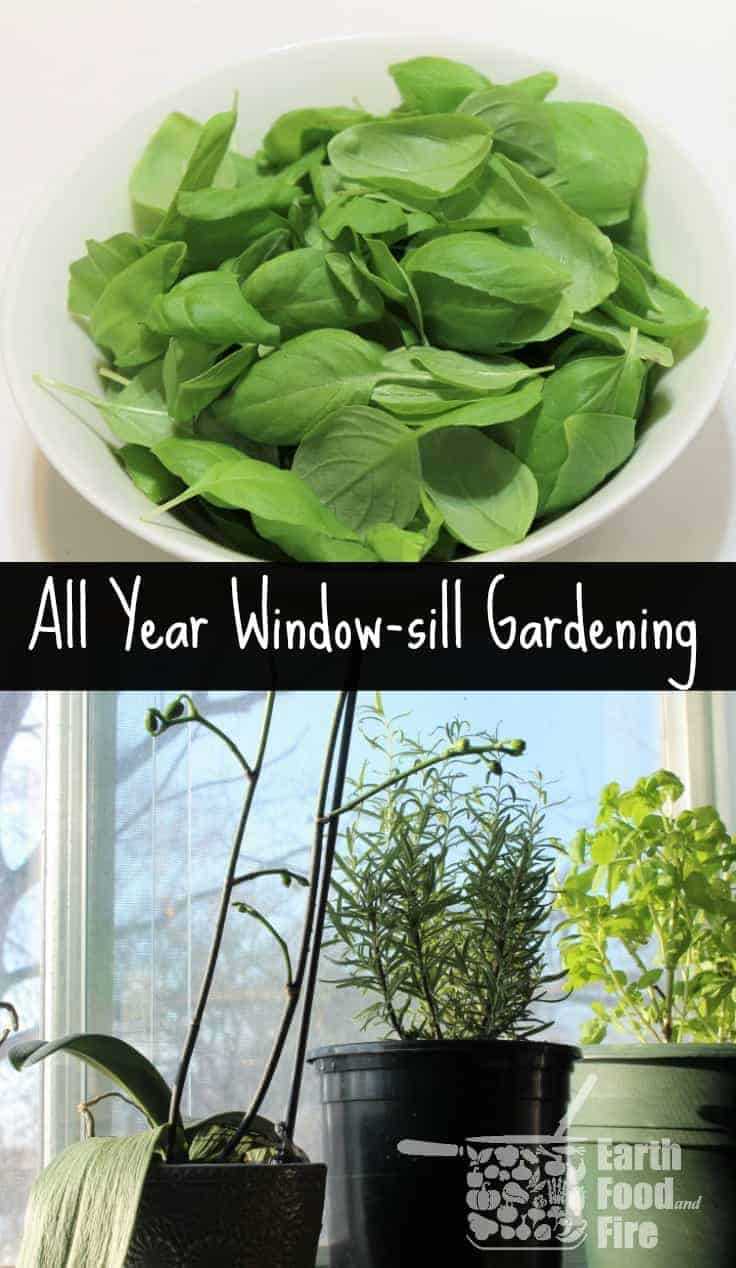 Gardening tips and trick  to grow herbs indoors all year round on the windowsill! Windowsill gardening is so easy even kids can help out!