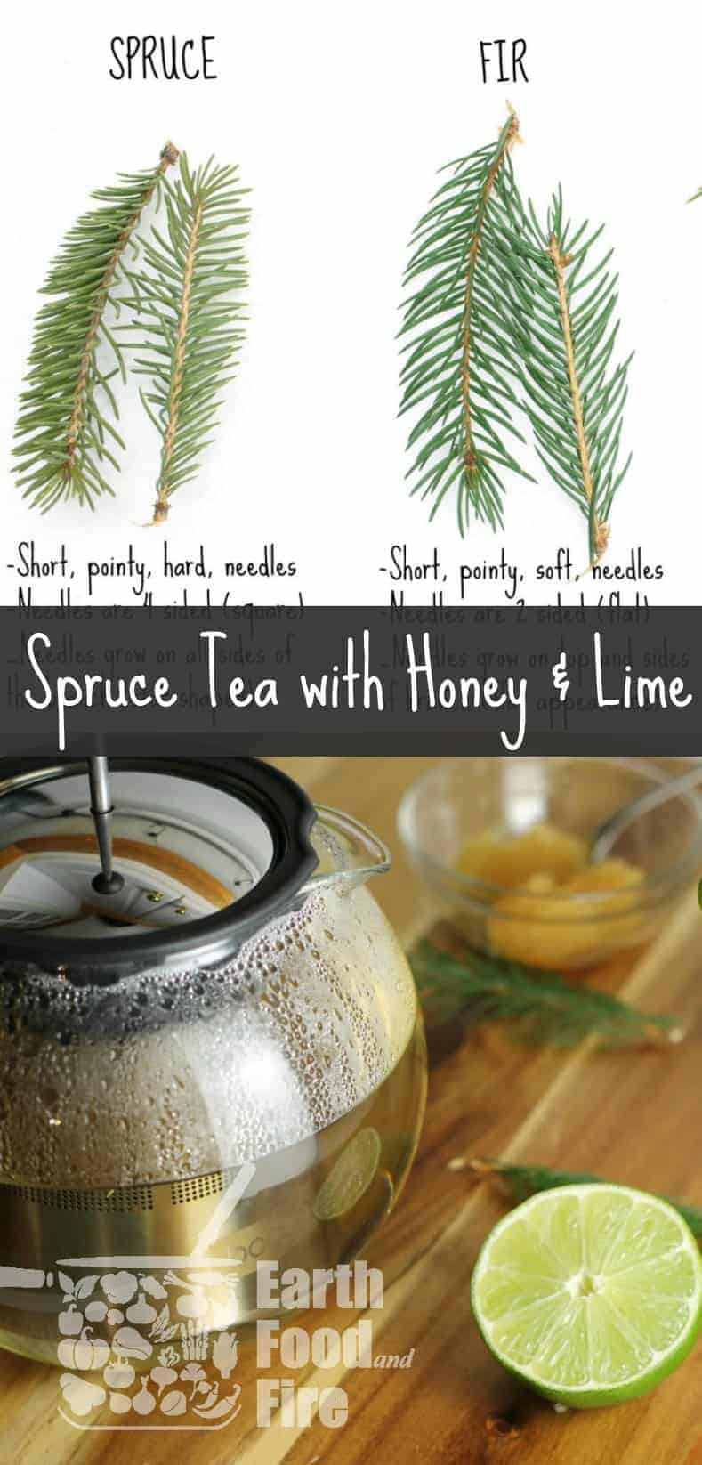 A simple wild foraged herbal tea, spruce tea is loaded with Vitamin C and is a great drink to enjoy on a cold winters day. #tea #foraging #wildcrafting #spruce