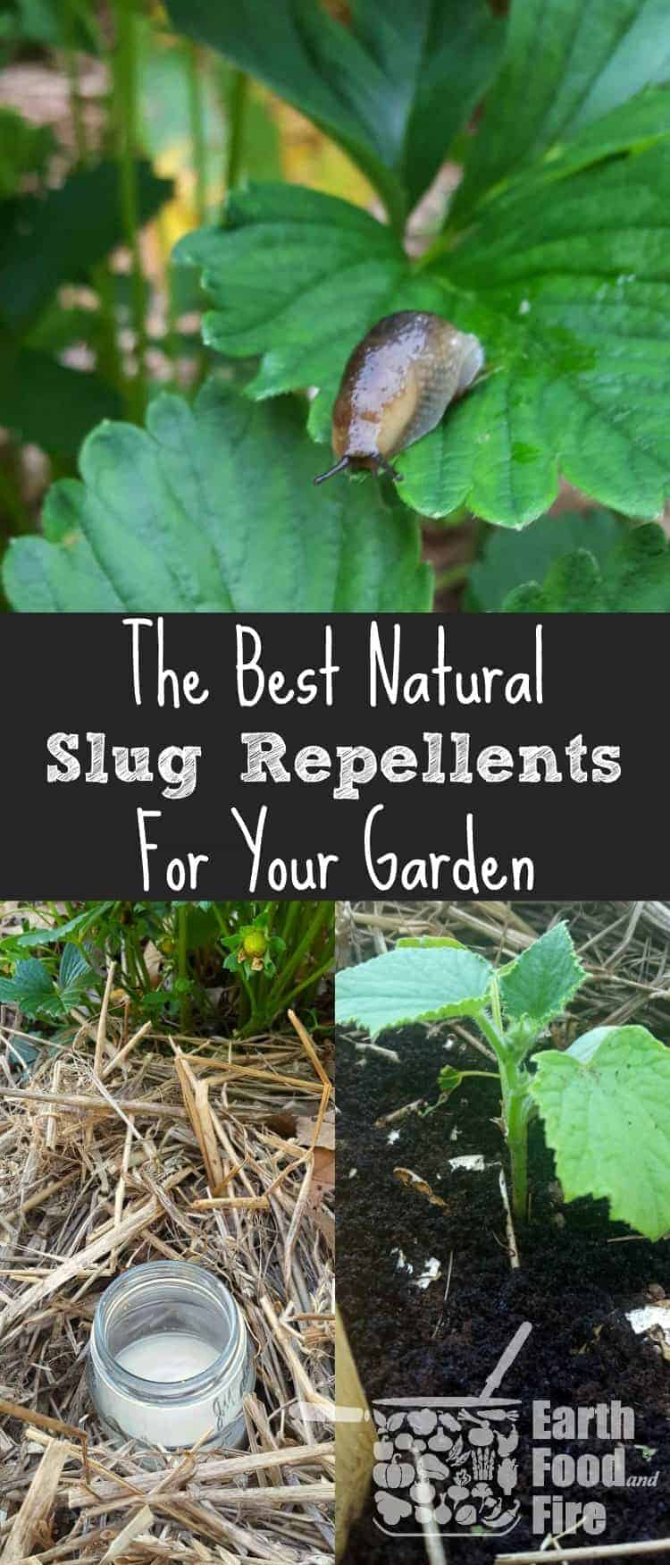 Every gardener that grows their own vegetables, has had a battle with slugs. Fortunately all is not lost! Learn how to get rid of slugs in your garden using natural methods and deterrents. Perfect for use when pets or children are around, and won't damage your plants.