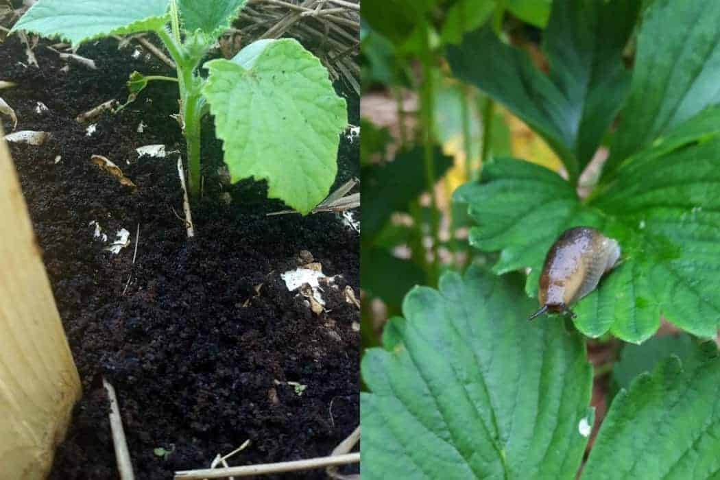 Learn how to get rid of slugs in your garden using natural methods and deterrents.