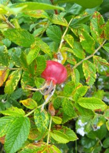 Wild rose hips are easy to forage and are full of vitamin C!