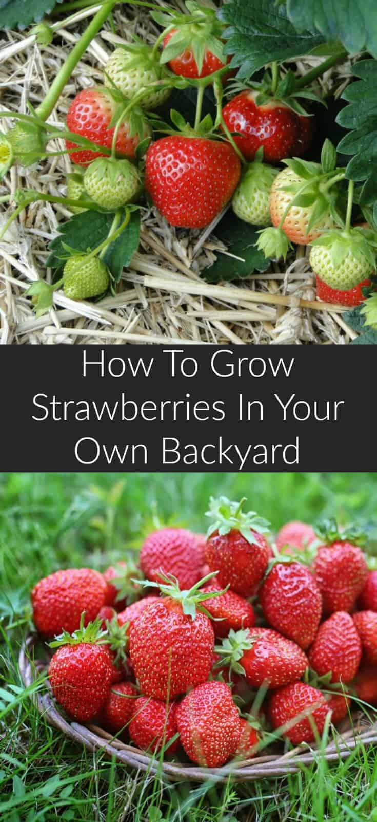 Learn how to grow strawberries at home with minimal effort. An easy to grow perennial ideal for every summer garden. Kids love eating the ripe fruit, and strawberries can be used in many healthy recipes. #gardeningtips #vegetablegardening #homesteading #urbangardening