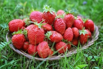 Freshly picked strawberries on a wicker plate