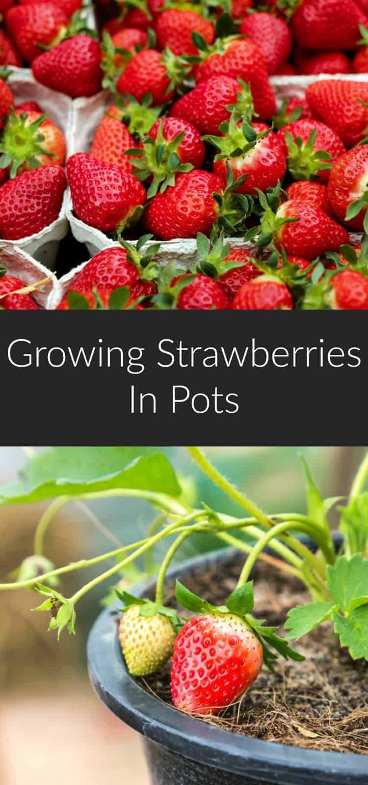 Growing strawberries in pots is an age-old practice, and an incredibly easy way to grow your own berries if you have limited gardening space. Learn everything you need to know to have a successful strawberry harvest. #strawberries #gardening #growyourown #greenthumb #diy