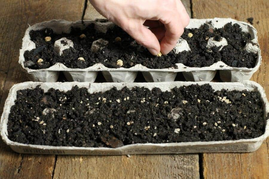 seeds being planted in a makeshift egg carton planter