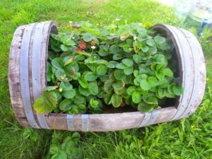 an old wine barrel being used to grow strawberry plants