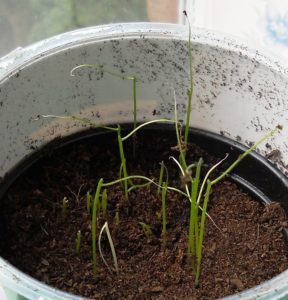 Chive seedlings sprouting in a pot