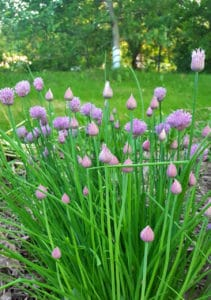 A mature chive plant blooming