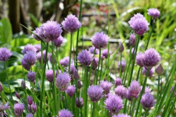 Close up of chive blossoms in a garden