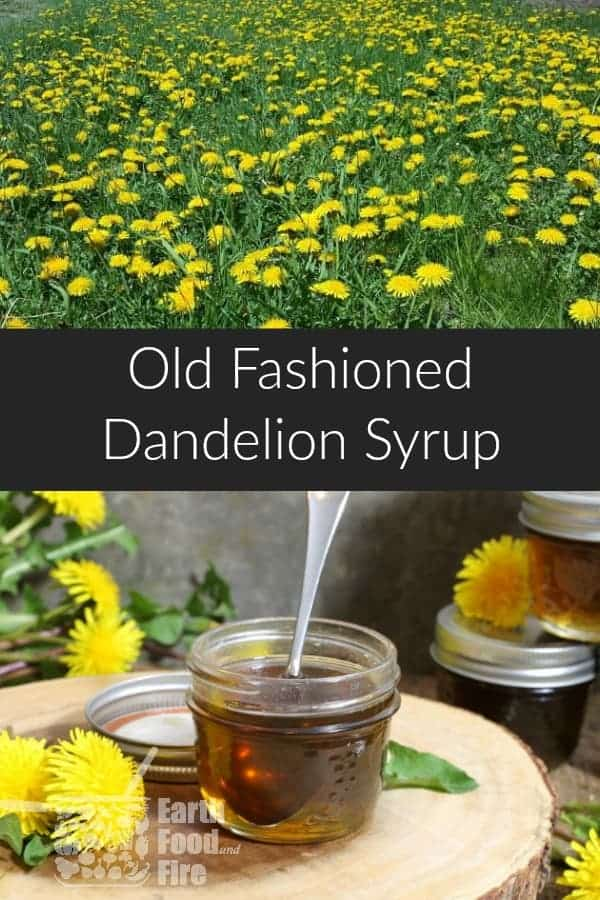 Dandelion syrup (or honey) is a sweet homemade syrup perfect as a maple syrup substitute or used in teas and baking.