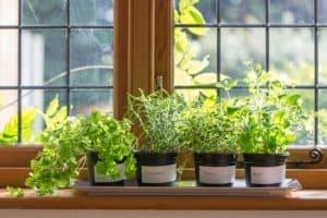 Various potted herbs on a windowsill her garden