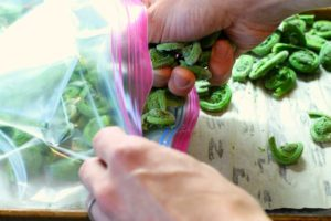 frozen fiddleheads being placed into a ziploc bag for long term storage