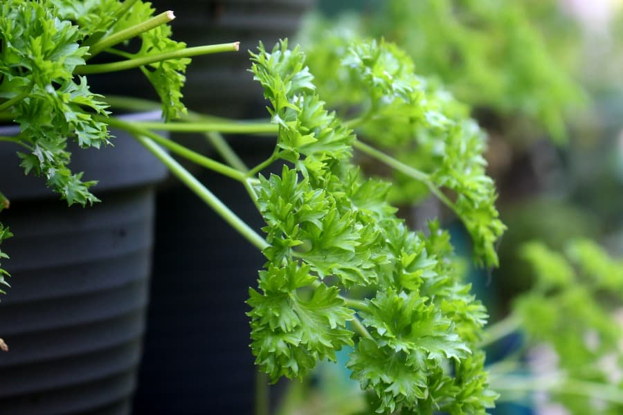 Fresh parsley growing in a black pot