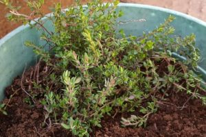 thyme growing in a pot which will be placed in a windowsill herb garden