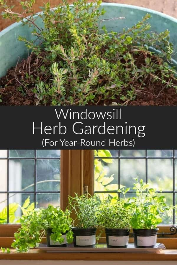 Grow herbs on your windowsill for access to fresh herbs year round. Use them in your cooking, drinks, and herbal remedies! #homesteading #diy #gardening #herbs