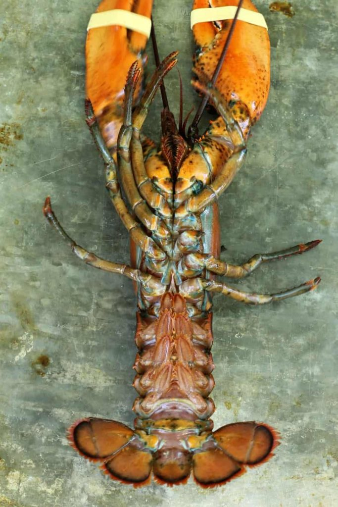 a male lobster on its back for easy identification