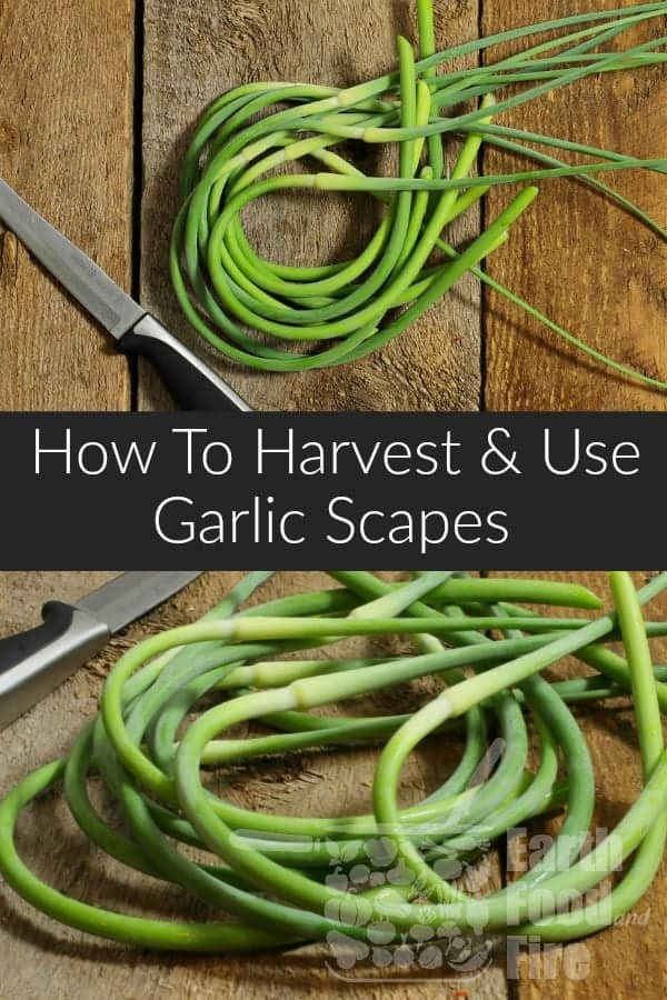 Garlic scapes are a delicious little summer vegetable only available for a few weeks every year. Find out how to grow and harvest your own garlic scapes, as well as ideas for cooking uses and storage. #garlicscapes, #garlic #growyourownfood
