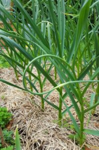 garlic plants with garlic scapes ready to be harvested