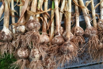 A bunch of freshly harvested garlic right after being dug from the ground