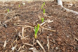 Freshly sprouted garlic plants