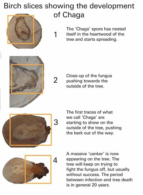 A diagram showing the life cycle of chaga mushroom as it develops in a birch tree.