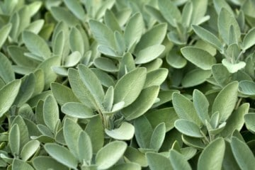 close up image of sage growing in a garden