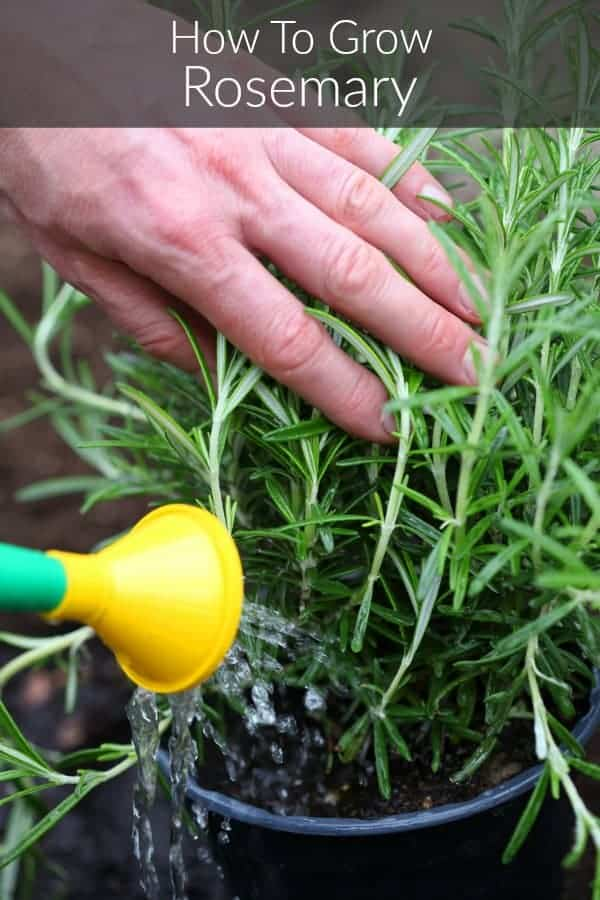 a potted rosemary plant being held aside as it is watered