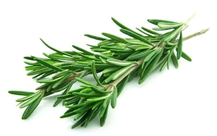 close up of a rosemary stem on an isolated white background