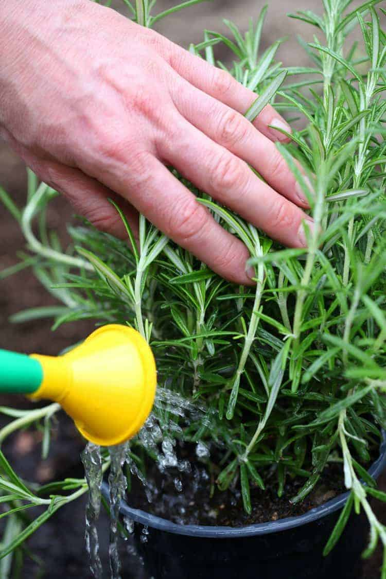 a potted rosemary plant being watered with a watering can