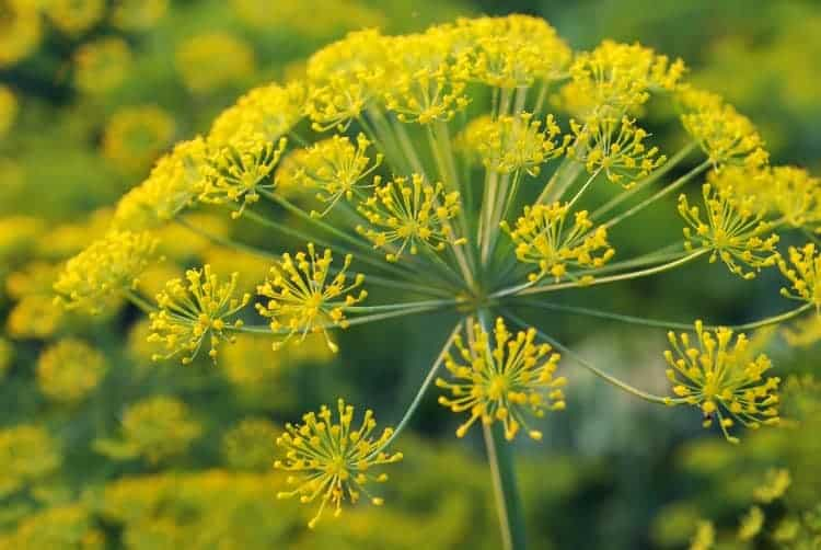 close up of a yellow dill flower in bloom