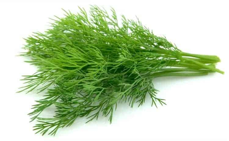 dill weed isolated on white