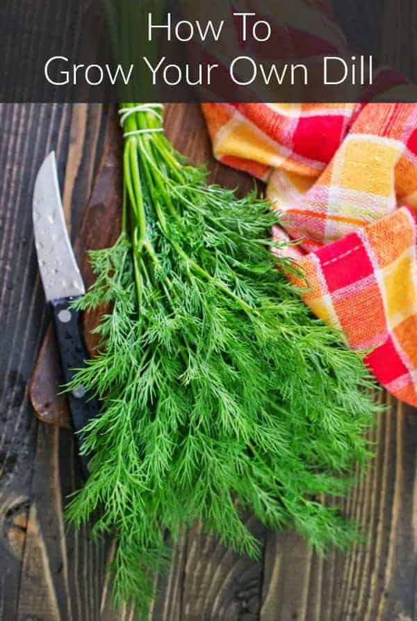 a freshly harvested bunch of homegrown dill beside a paring knife