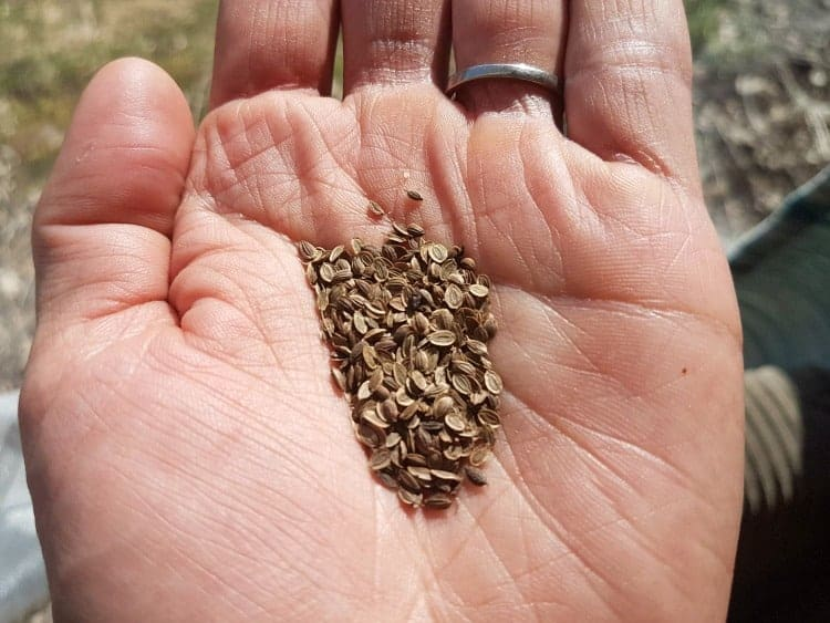 dill seeds in an open hand