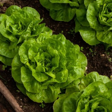 mature butter lettuce heads in a garden bed