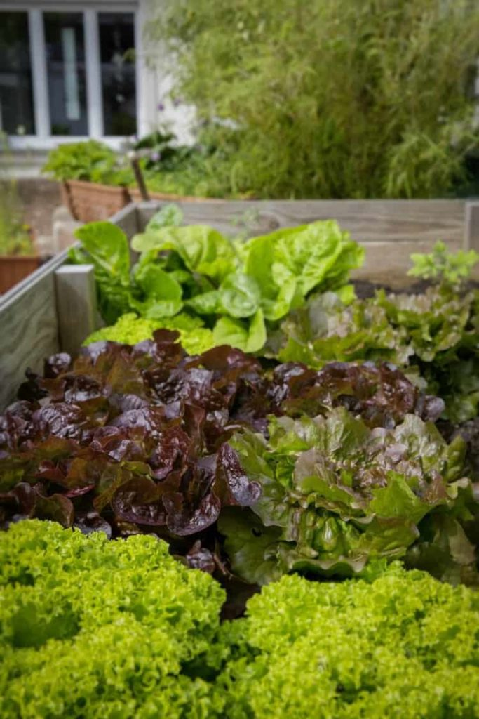 various head lettuces growing in a raised garden bed