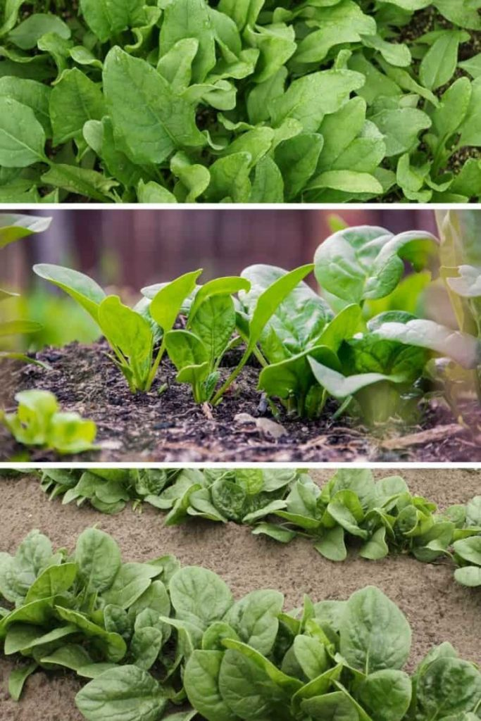 three images showing various varieties of spinach in the garden