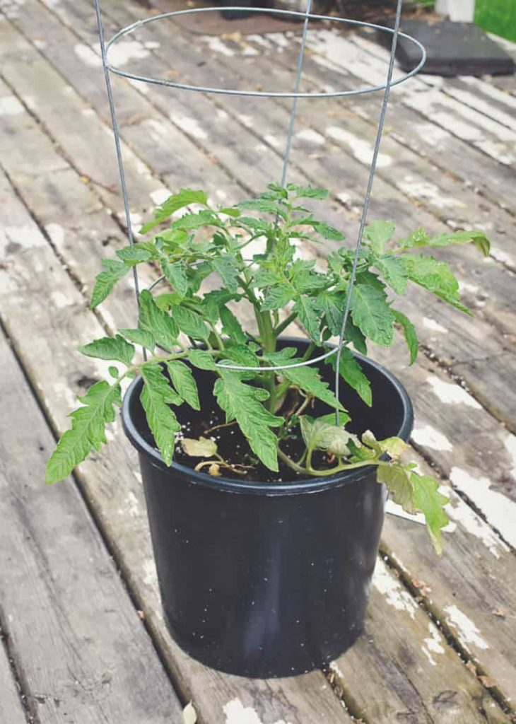 a cherry tomato plant caged in a small black container