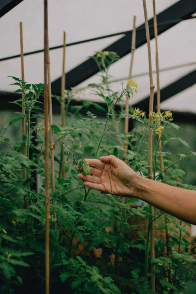 indeterminate cherry tomato plants growing on bamboo stakes