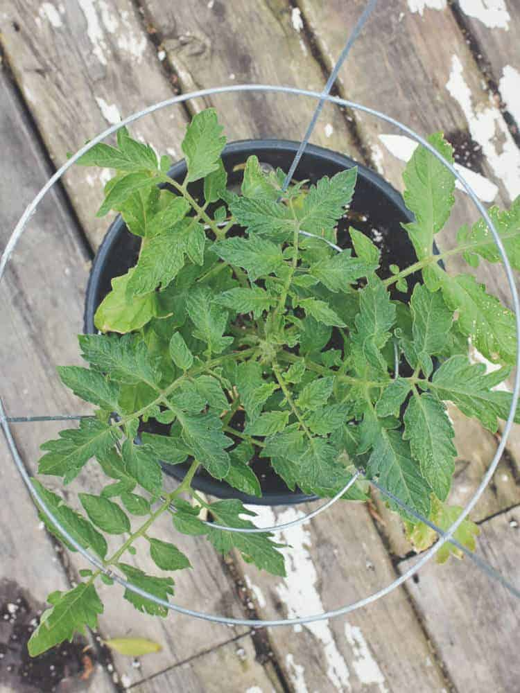 a top down show of a caged cherry tomato plant in a pot
