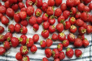 drying fresh strawberries on a clean dish towel