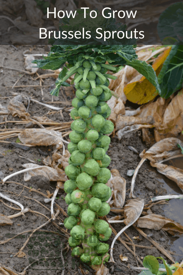 a mature brussels sprouts plant showcasing how to grow your own brussels sprouts