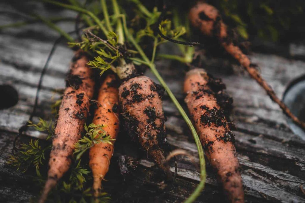 freshly harvested carrots on a wood bench
