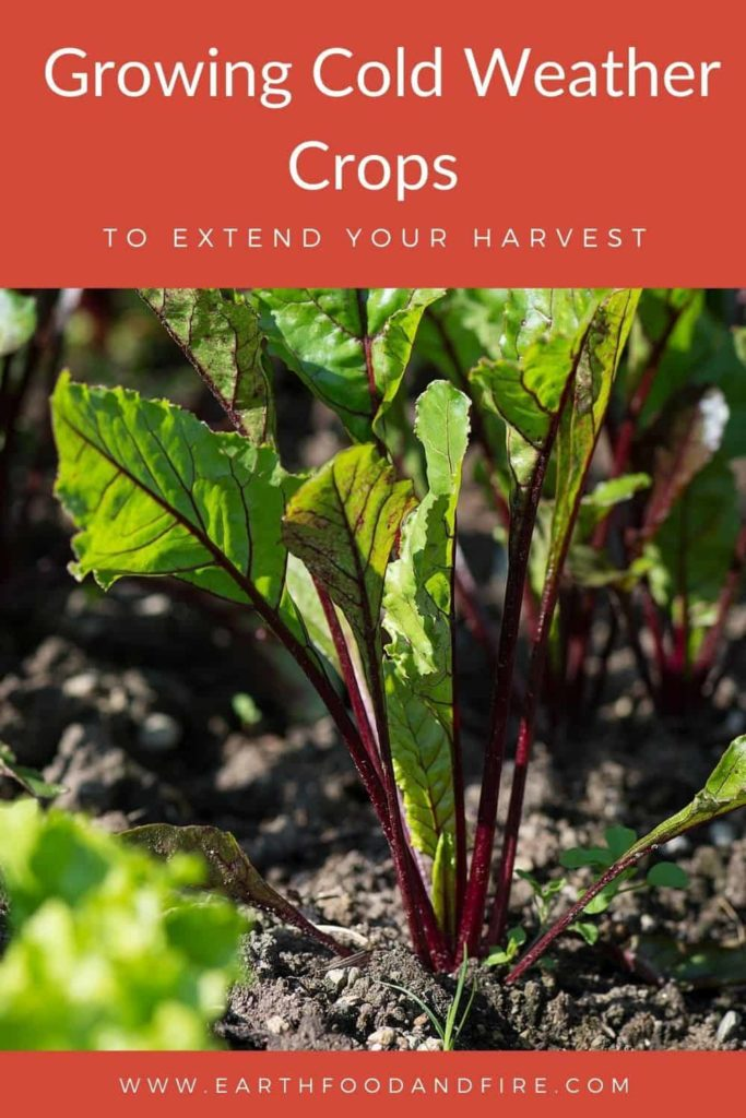 close up of a beet plant in the garden overlaid with a pinterest title banner