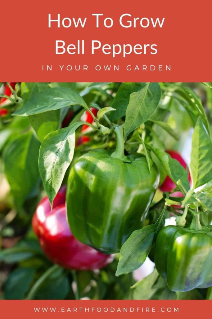 how to grow bell peppers pin image