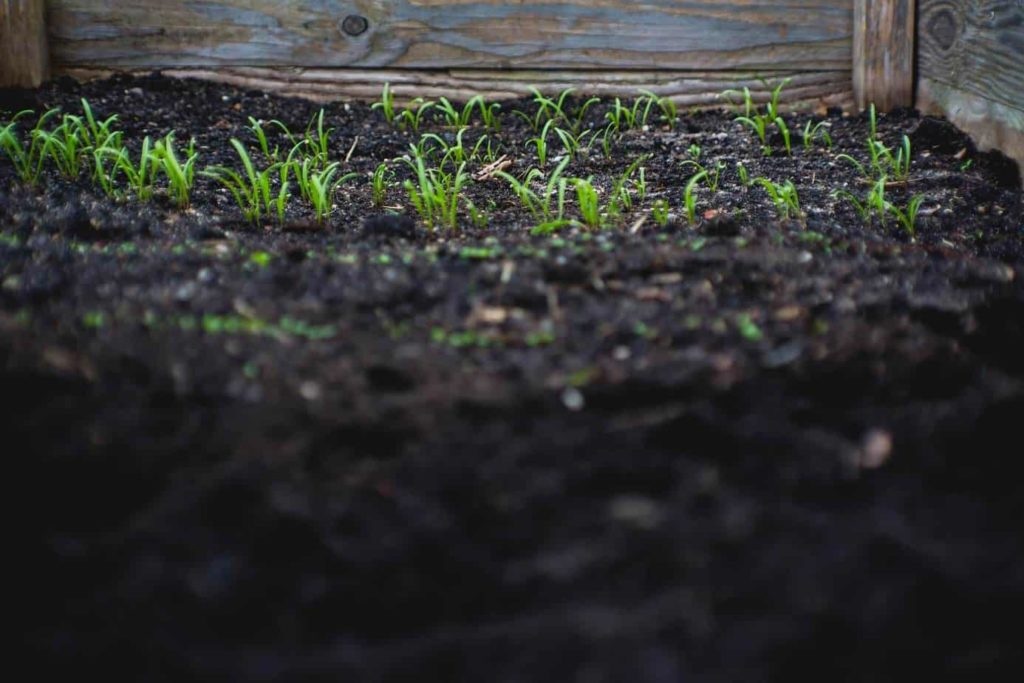 seedlings planted outdoors in a garden box