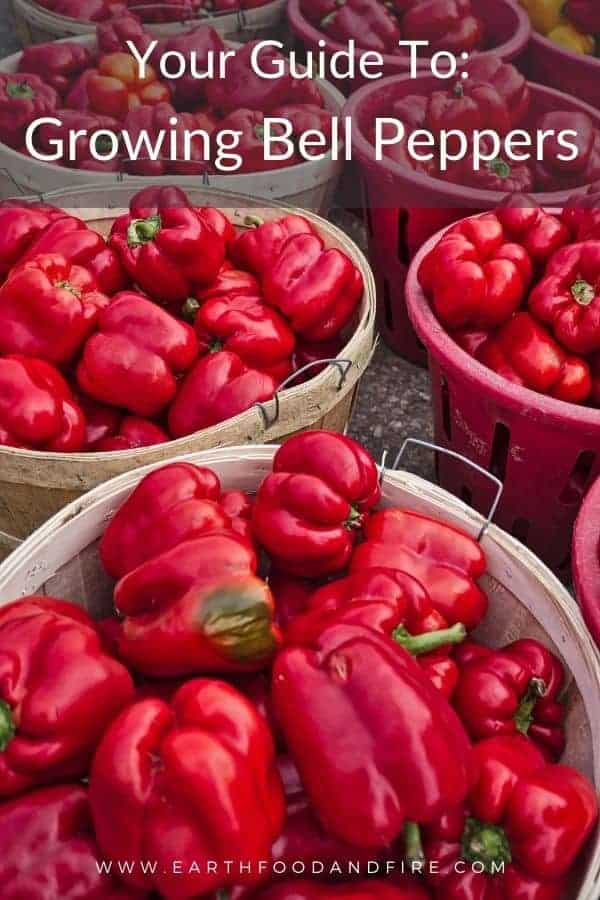 vertical image of red bell peppers in round wooden baskets
