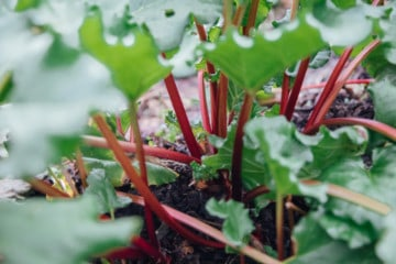 rhubarb crowns in their second year, slowly filling out